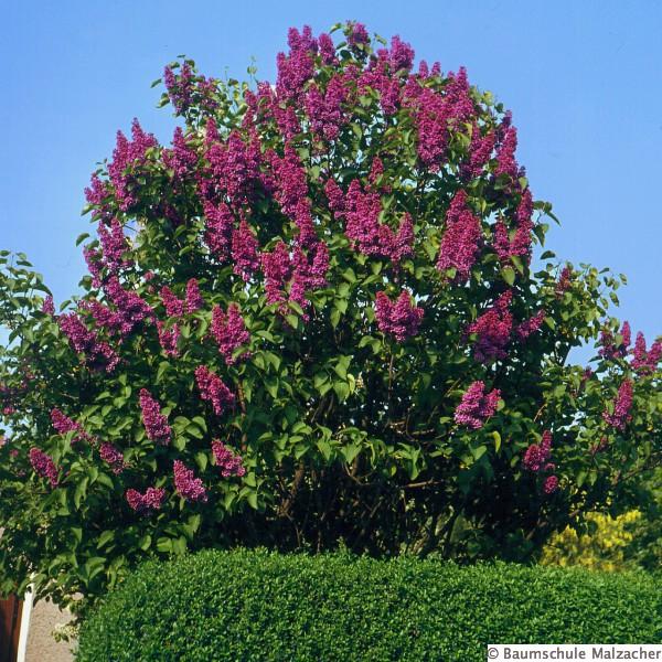 viburnum burkwoodii duftende