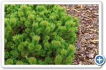 Pinus Mugo Peterle